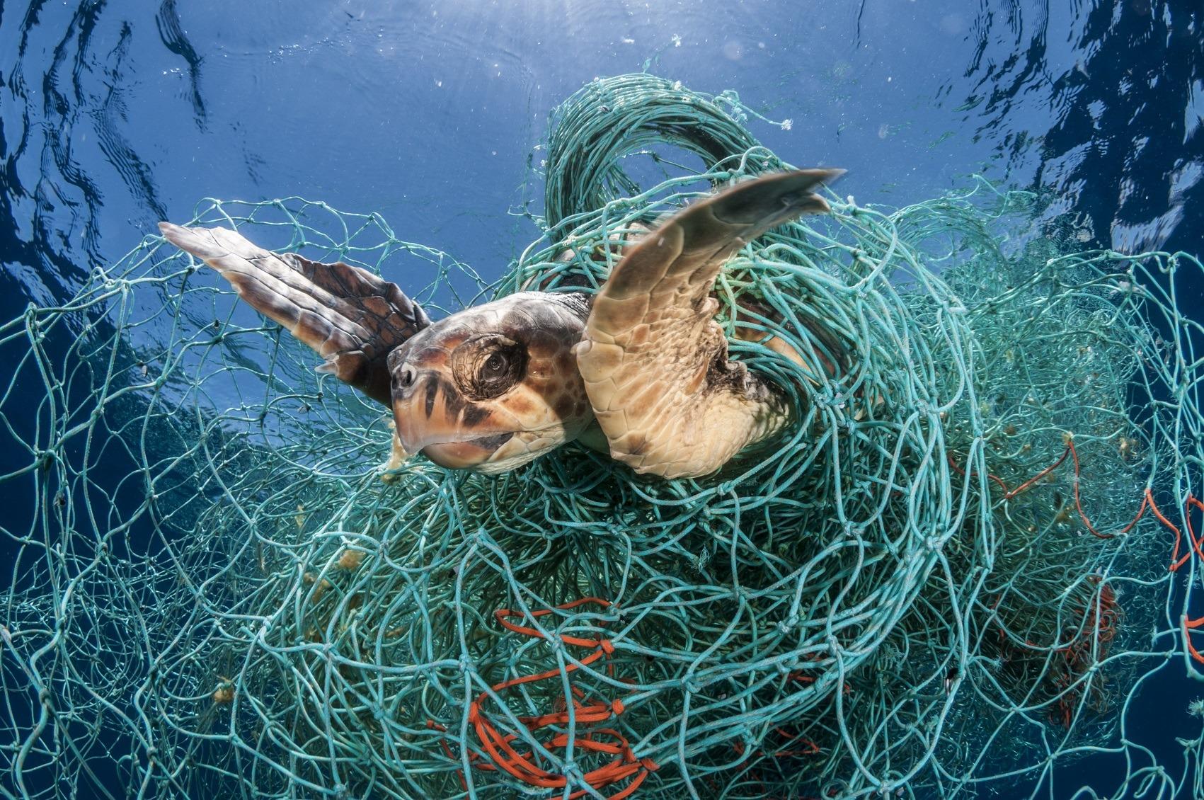 Loggerhead turtle (Caretta caretta) trapped in an abandoned drifting net, Balearic Channel, Mediterranean sea.